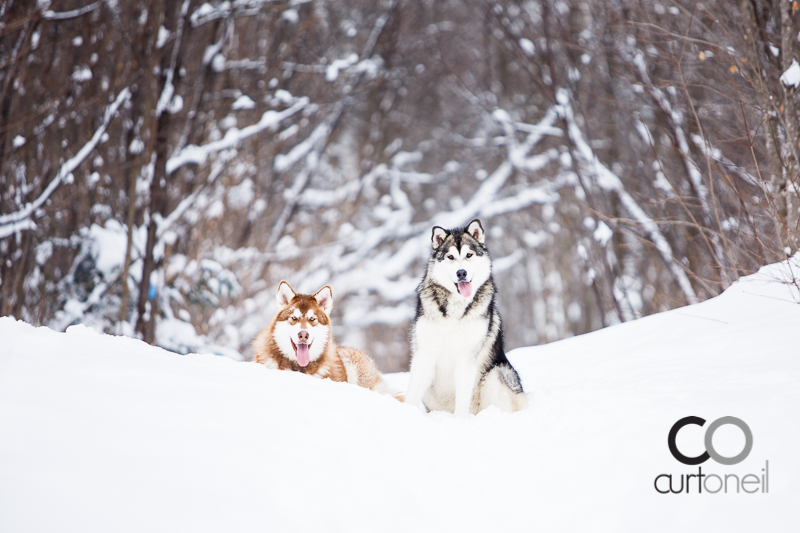Sault Ste Marie Pet Photography - Gus and Winnie - Dog's life sneak peek, malamute, winter, cold