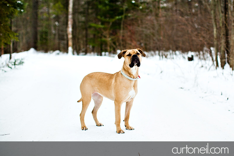Sault Ste Marie Pet Photographer - Koy Dog's Life - winter, dog, mastiff