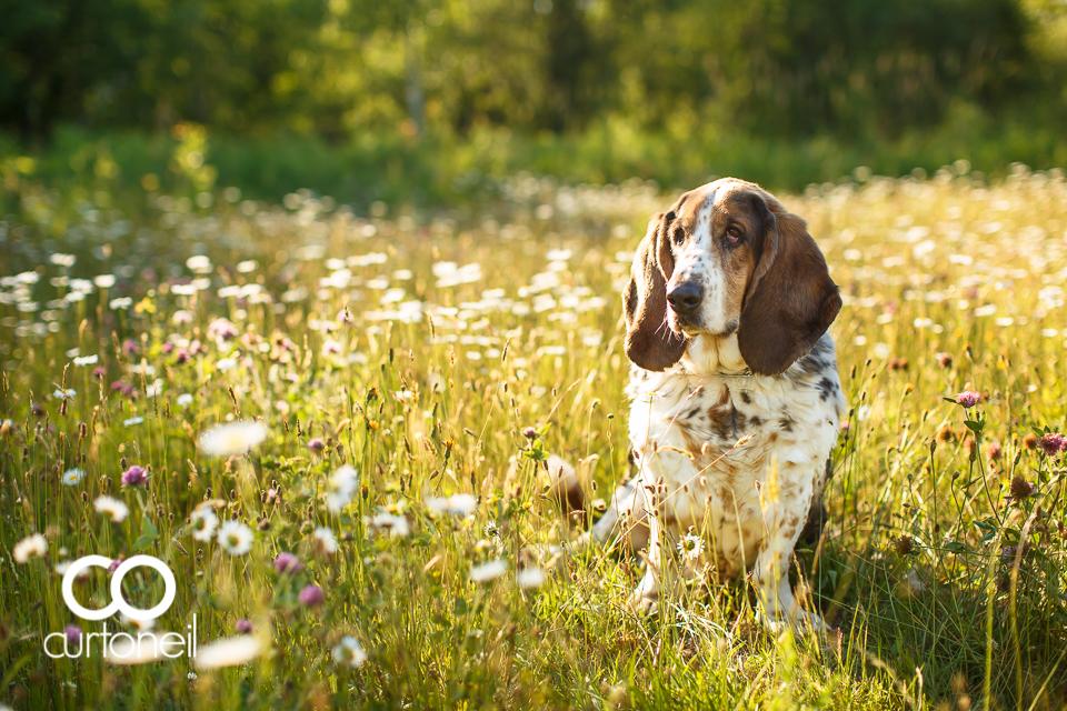 Domino the basset hound turns 11